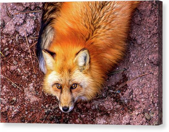 Red Fox In Canyon, Arizona Canvas Print