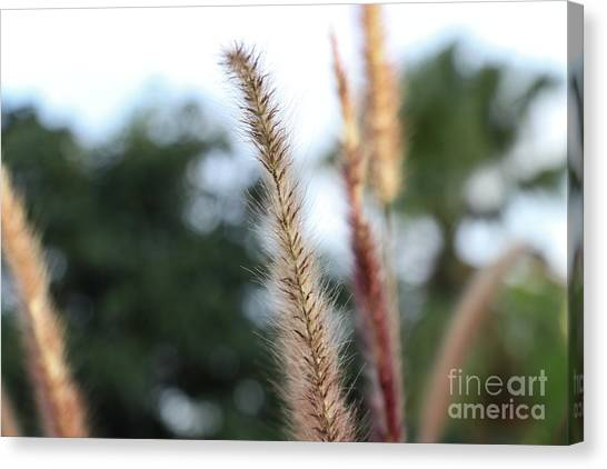 Red Grass - Pennisetum Setaceum 'rubrum' Canvas Print