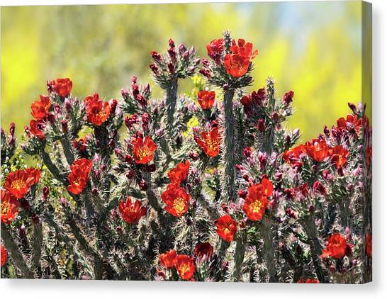 Canvas Print - Red Hot Cholla  by Saija Lehtonen