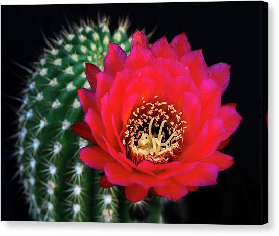 Canvas Print - Red Hot Torch Cactus  by Saija Lehtonen