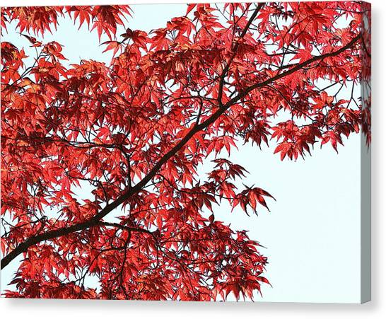 Canvas Print featuring the photograph Red Japanese Maple Leaves by Debi Dalio