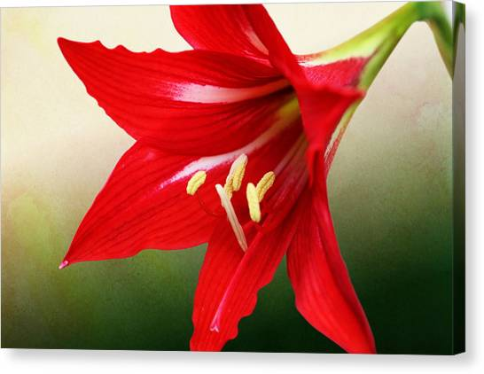 Red Lily Flower Canvas Print