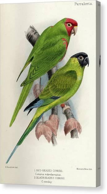 Parakeets Canvas Print - Red-masked Parakeet by David Seth-Smith