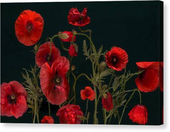 Red Poppies On Black Canvas Print