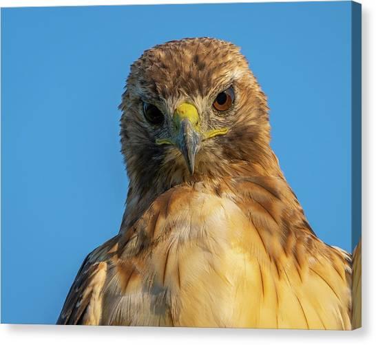 Red Tail Hawk Canvas Print