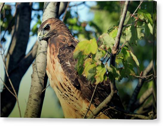 Red-tailed Hawk Looking Down From Tree Canvas Print