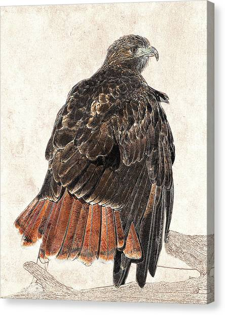 Canvas Print featuring the photograph Red-tailed Hawk - Photographic Drawing by Dawn Currie