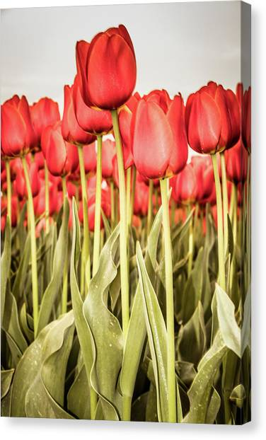 Canvas Print featuring the photograph Red Tulip Field In Portrait Format. by Anjo Ten Kate