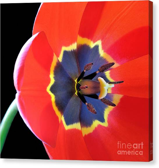 Stunning Canvas Print - Red Tulip Tulipa - Liliaceae by Kev Vincent Photography