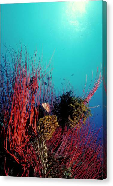 Kimbe Bay Canvas Print - Red Whip Reef by Tammy616