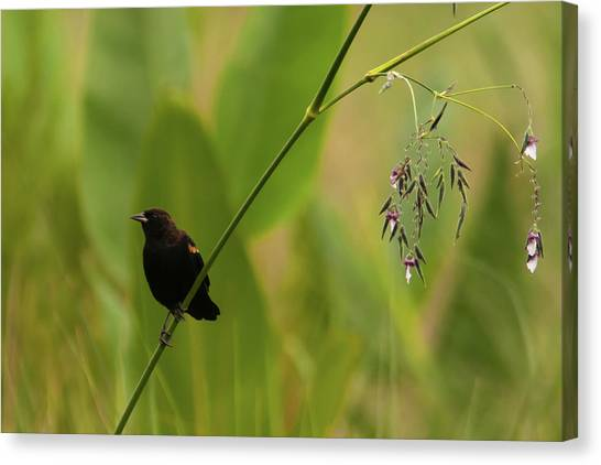 Red-winged Blackbird On Alligator Flag Canvas Print