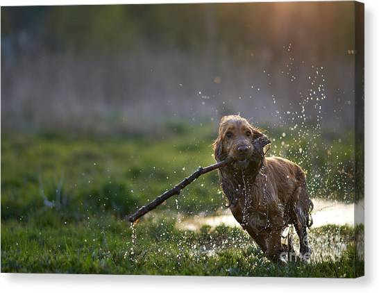 Exercising Canvas Print - Redhead Spaniel Dog Running With A by Dmytro Vietrov