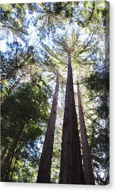 Redwoods, Blue Sky Canvas Print