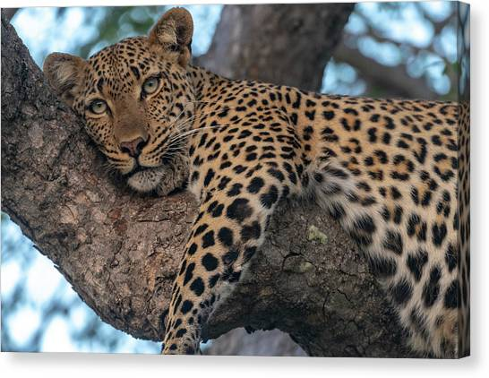 Relaxed Leopard Canvas Print