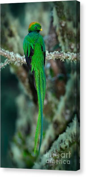 Stunning Canvas Print - Resplendent Quetzal, Pharomachrus by Ondrej Prosicky