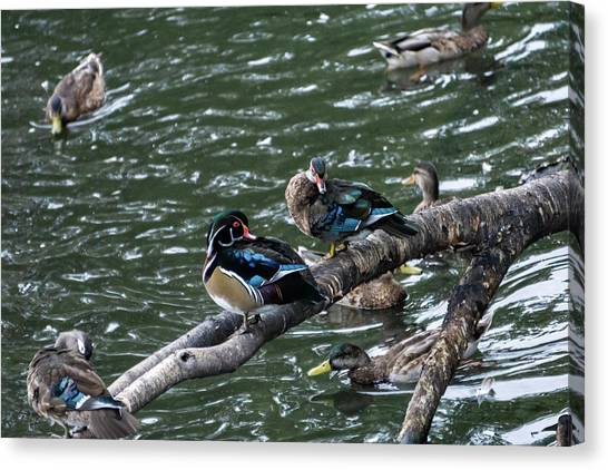 Animals Canvas Print - Resting Ducks by Rob Olivo