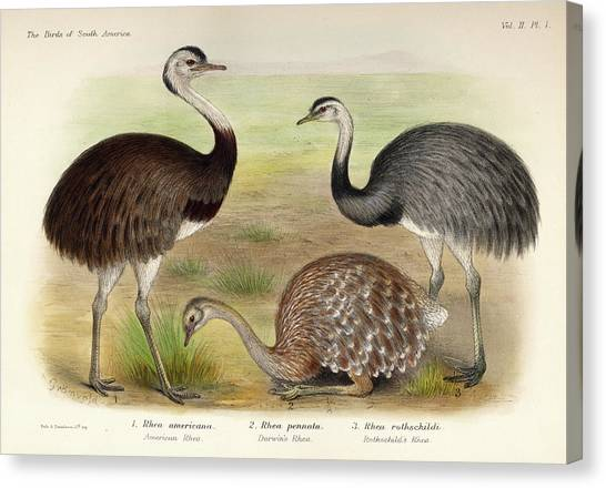 Emus Canvas Print - Rhea by Charles Chubb