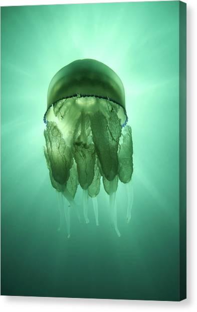Rhizostoma Pulmo Jellyfish Canvas Print by Underwater Photography By Ivan Bakardjiev
