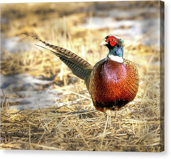 Ring-necked Pheasant Portrait Canvas Print