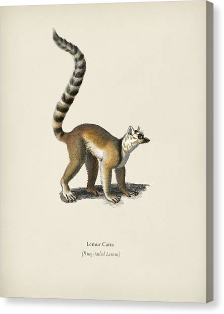 Ring-tailed Lemur Canvas Print - Ring-tailed Lemur  Lemur Catta  Illustrated By Charles Dessalines D' Orbigny  1806-1876  by Celestial Images