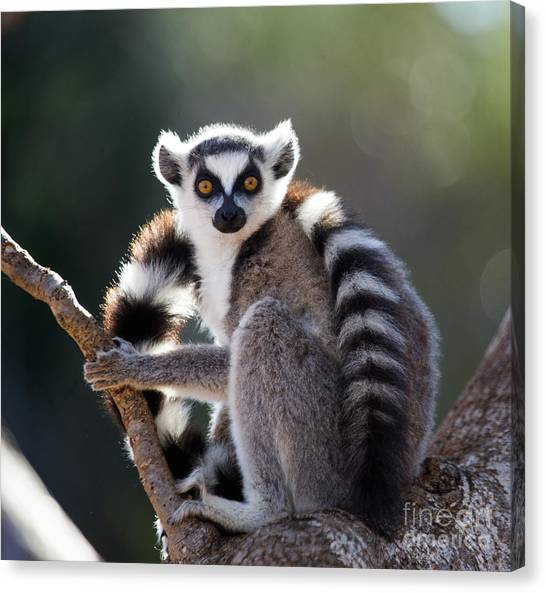 Zoology Canvas Print - Ring-tailed Lemur Sitting On A Tree by Gudkov Andrey