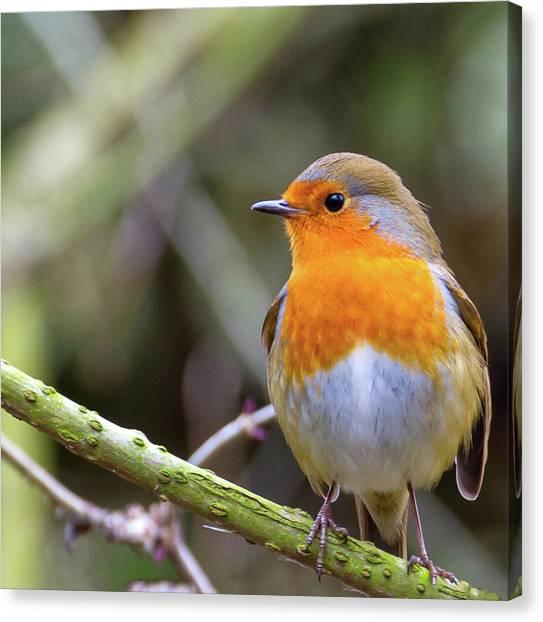 Robin. On Guard Canvas Print