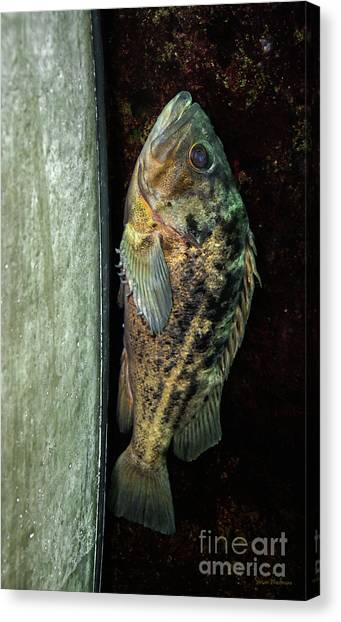 Rockfish Relaxing Canvas Print