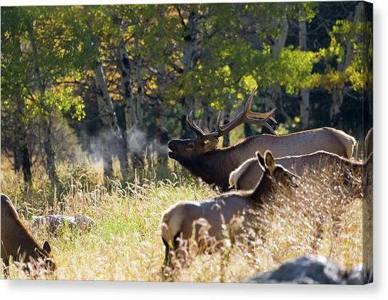 Canvas Print featuring the photograph Rocky Mountain Bull Elk Bugeling by Nathan Bush