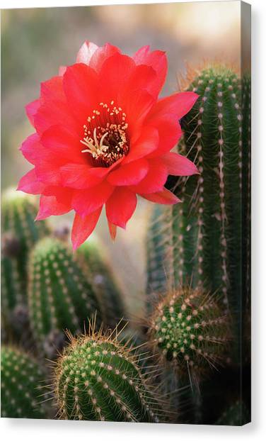 Canvas Print - Rose Quartz Cactus Flower  by Saija Lehtonen