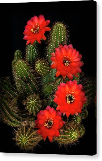 Canvas Print - Rose Quartz Cactus  by Saija Lehtonen