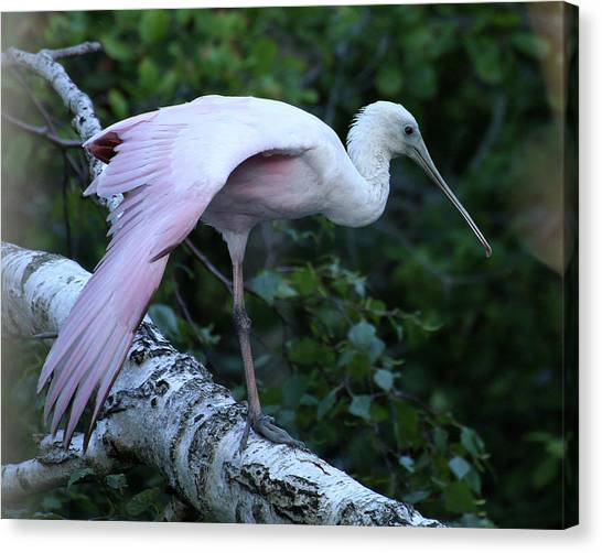 Canvas Print featuring the photograph Roseate Spoonbill 02 by William Selander