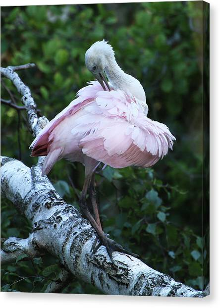 Canvas Print featuring the photograph Roseate Spoonbill 07 by William Selander