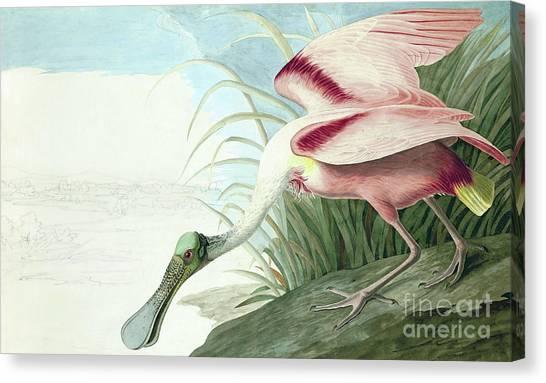 Spoonbills Canvas Print - Roseate Spoonbill, Platalea Ajaja Audubon by John James Audubon
