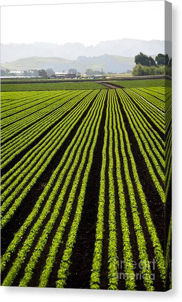 Rows Of Freshly Planted Lettuce In The Canvas Print by Dwight Smith
