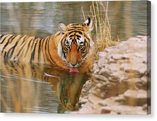 Royal Bengal Tiger Panthera Tigris Canvas Print