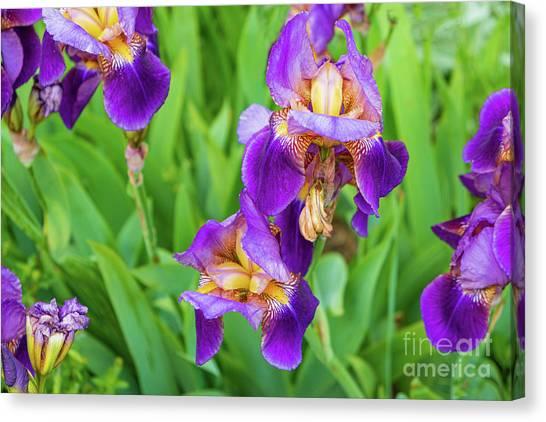 Royal Purple Irise Canvas Print