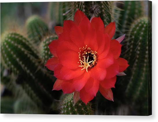 Canvas Print - Ruby Red Peanut Cactus  by Saija Lehtonen