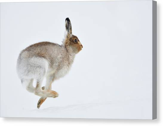 Running Mountain Hare Lepus Timidus Canvas Print