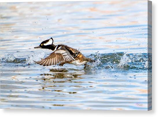 Running Take Off -- Hooded Merganser Canvas Print