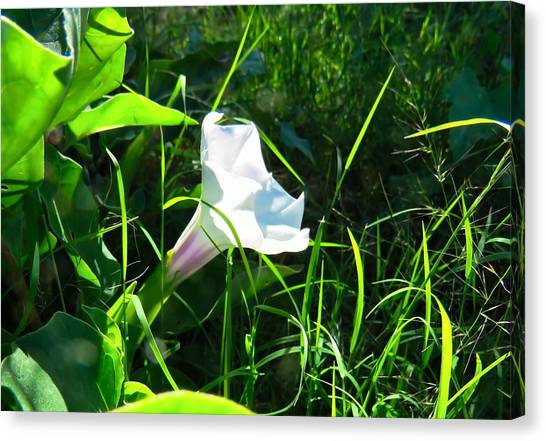 Canvas Print featuring the photograph Sacred Datura - Fairy Flower by Judy Kennedy