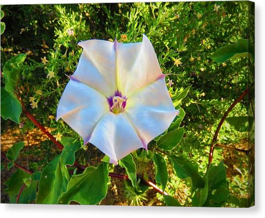 Canvas Print featuring the photograph Sacred Datura In The Golden Hour by Judy Kennedy