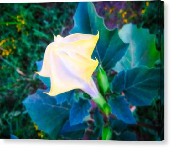 Canvas Print featuring the photograph Sacred Datura - Partial Bloom by Judy Kennedy