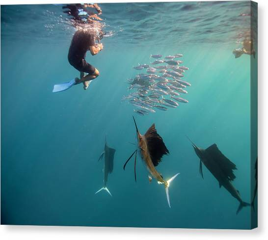 Sailfish And Snorkeler Standoff Canvas Print by By Wildestanimal