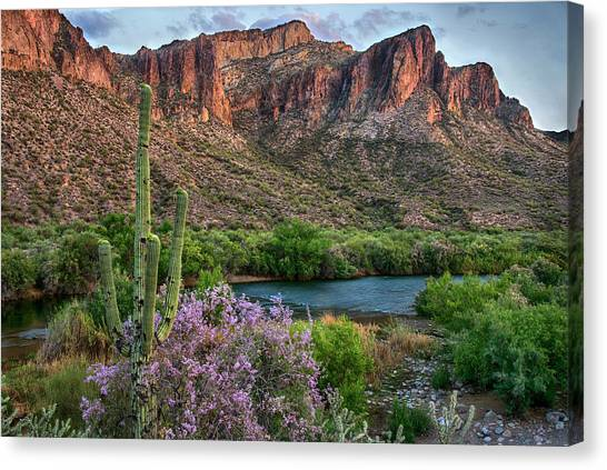 Salt River Saguaro And Ironwood Blooms Canvas Print