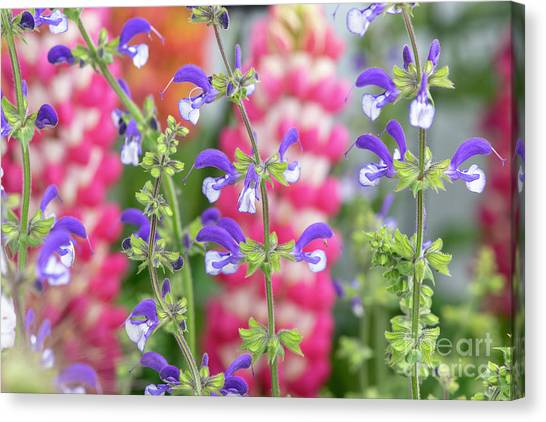 Perennial Canvas Print - Salvia Pratensis Madeline Flowers  by Tim Gainey