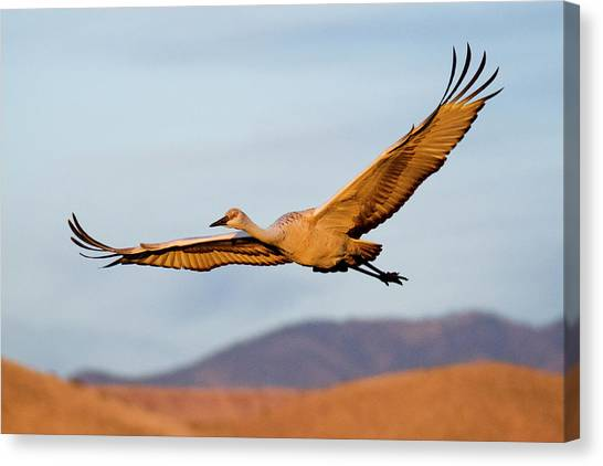 Canvas Print featuring the photograph Sandhill Crane by Nicole Young
