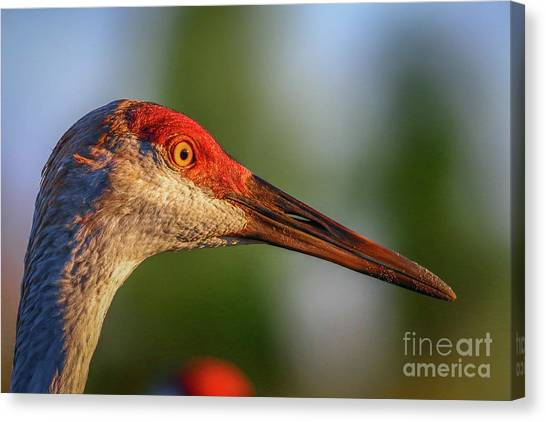 Canvas Print featuring the photograph Sandhill Sunlight Portrait by Tom Claud