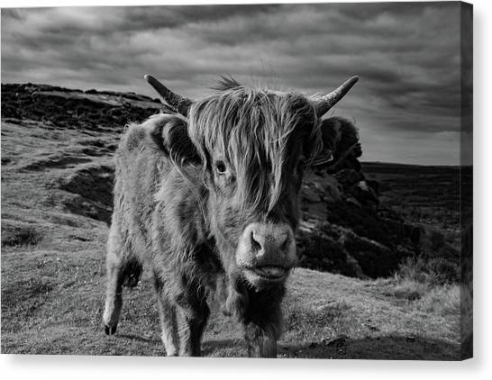 Saying Hello To A Highland Cow At Baslow Edge Black And White Canvas Print