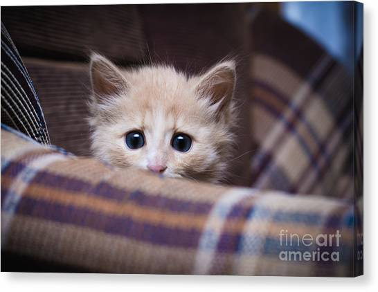 Purebred Canvas Print - Scared Kitten Hiding At Home by Khamidulin Sergey