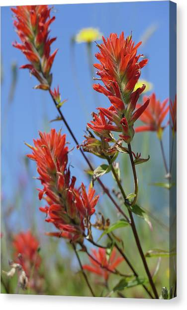 Scarlet Indian Paintbrush At Mount St. Helens National Volcanic  Canvas Print